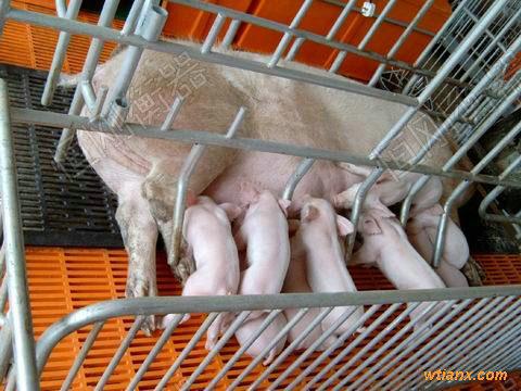 猪用电子地磅